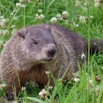 woodchuck and wildflowers