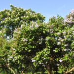 lilacs and chestnuts in bloom