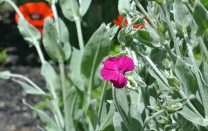 rose campion near the poppies