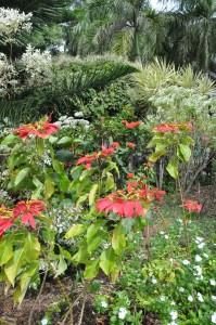 poinsettias in the O'Neal Botanical Garden