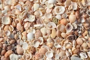 Shell Beach shells