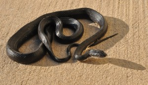 Sid Vicious, the black racer snake, in driveway