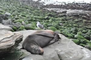 gull and sleeping sea lion