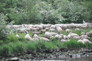baa-baaing sheep
